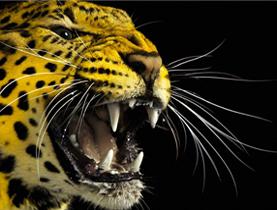 leopardo locarno